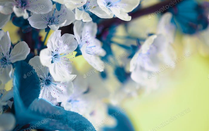 Blossoming spring cherry branch close-up. Bluring soft focus nature background.