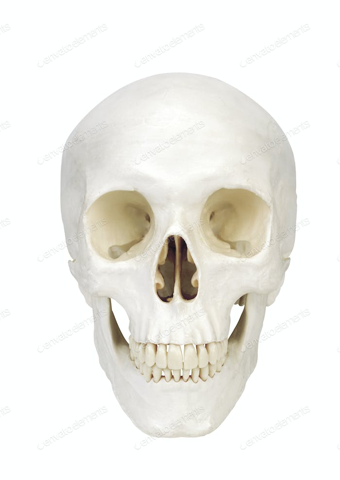 human scull isolated on white background