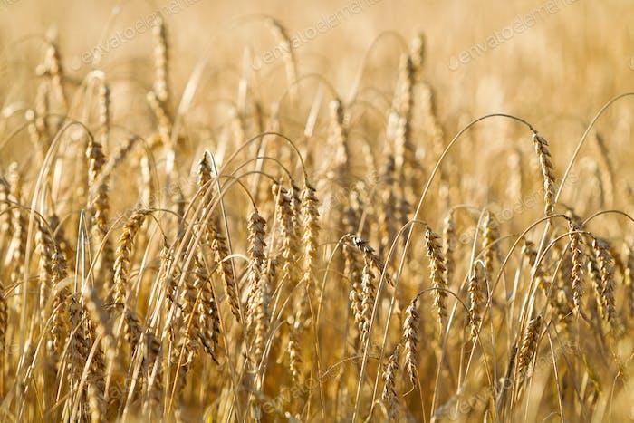 Weizenfeld an einem sonnigen Sommertag