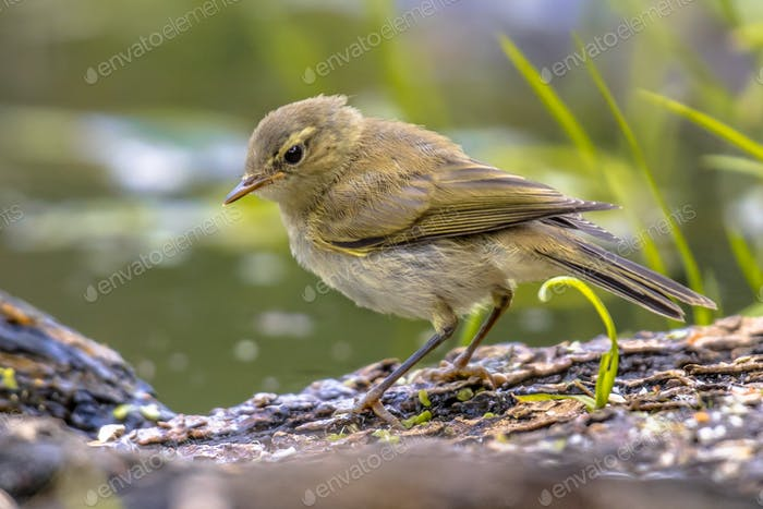 Common chiffchaff in bright colors