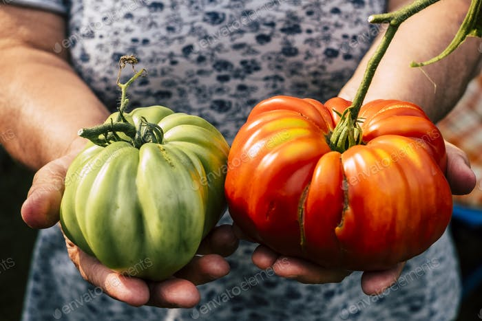Couple of big red and green tomatoes from bio farm agriculture