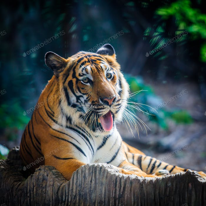 Tiger, portrait of a bengal tiger. A tiger sitting in a zoo.