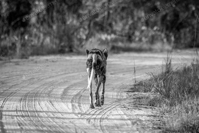 Running African wild dog from behind.