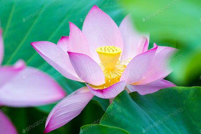 lotus flower in full bloom in summer