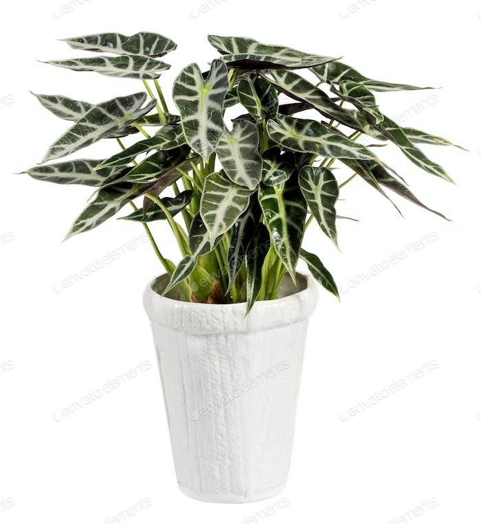 Alocasia Plant on White Pot Isolated on White
