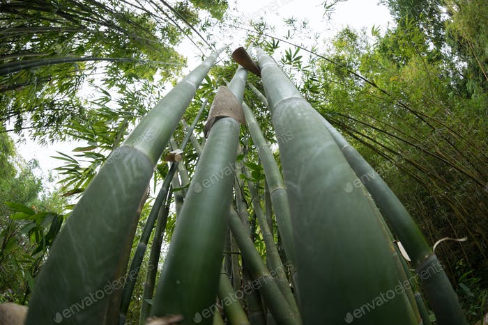 Bamboo trees looking up