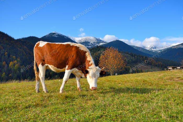 Braune Kuh mit weißem Muster auf einer Alm