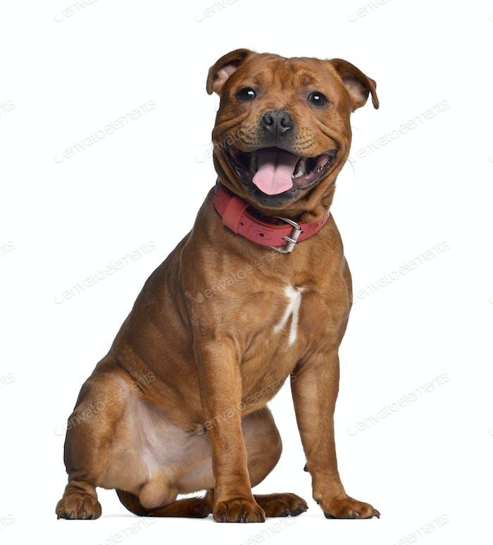 Staffordshire Bull Terrier, 9 Monate alt mit rotem Kragen, isoliert auf weiß