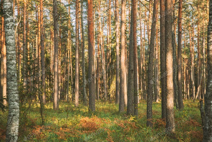 Pine Trees Trunks. Woods In Coniferous Forest. Autumn Pinewood, Evergreen Pines