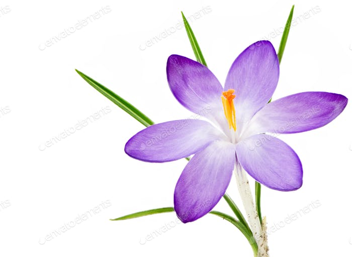 Isolated purple crocus flower blossom