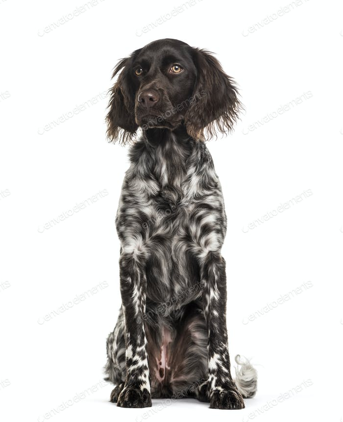 Munsterlander dog , 9 months old, sitting against white background
