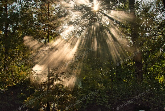 Sun rays shining through the canopy of trees in the forest