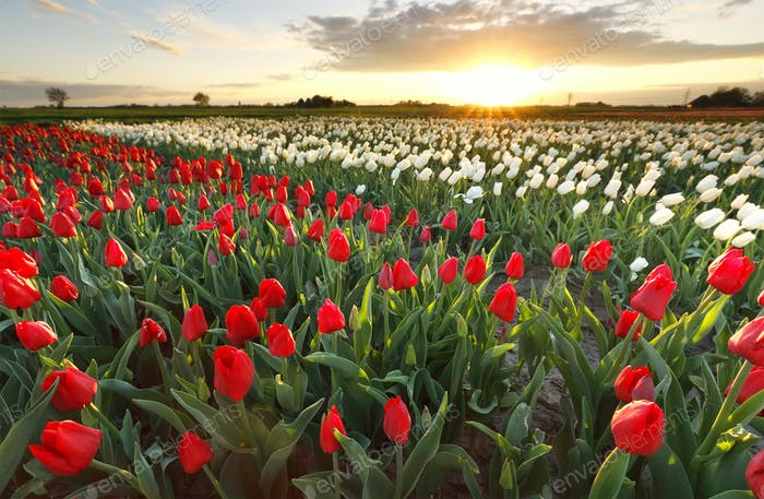 sunset sunshine over tulip field