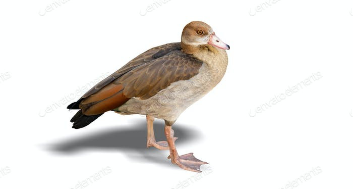 Brown duck isolated on white background, closeup