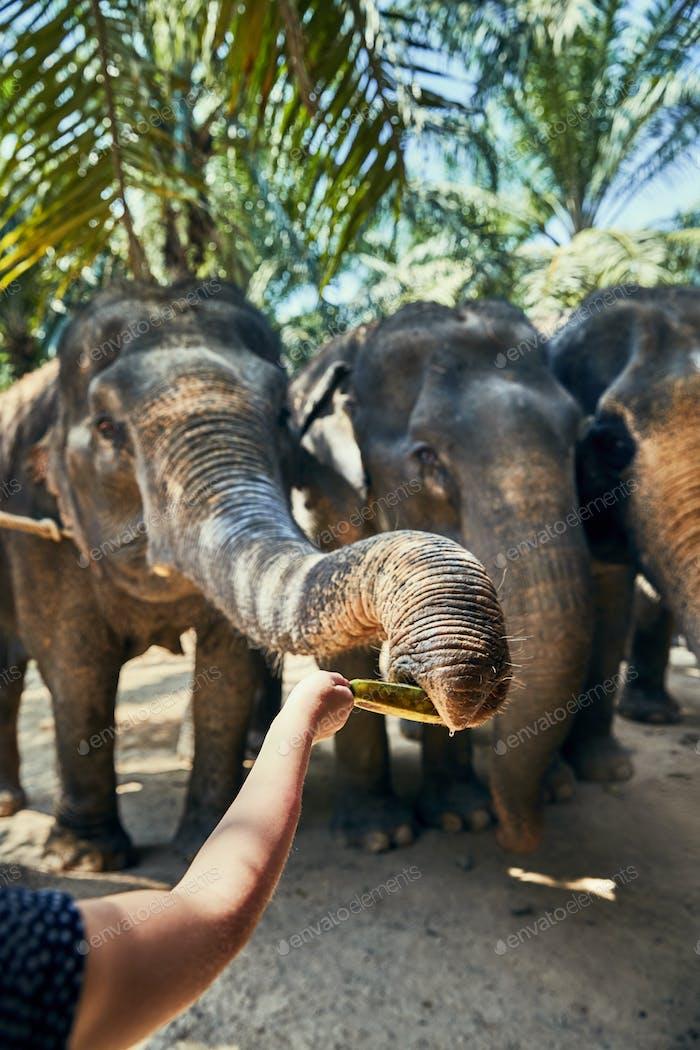 Woman feeding bananas to an Asian elephant at a sanctuary