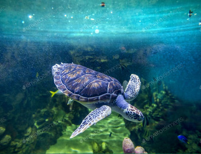 Green sea turtle diving, view from underwater