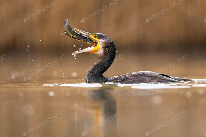 Successful great cormorant catching a fish during hunt in water