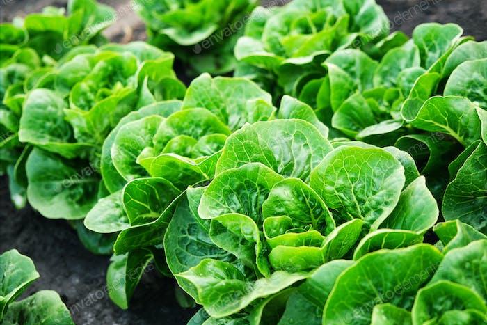 Органический зеленый салат с сочными хрустящими листьями