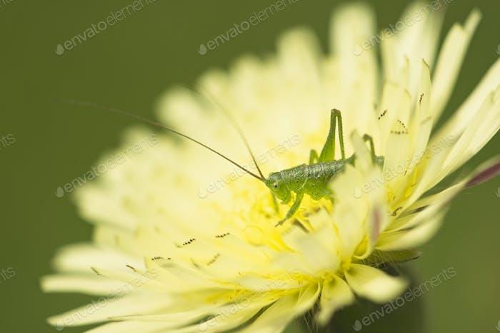 Dandelion flower close up with grasshopper
