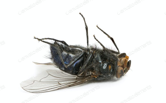 Dead fly lying on its back, isolated on white