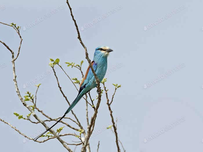 Abyssinian roller in its natural habitat in The Gambia