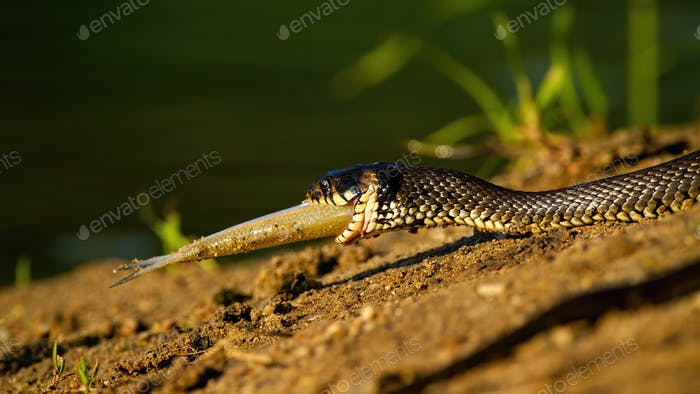 Grass snake holding a fish in mouth on riverbank in sunset