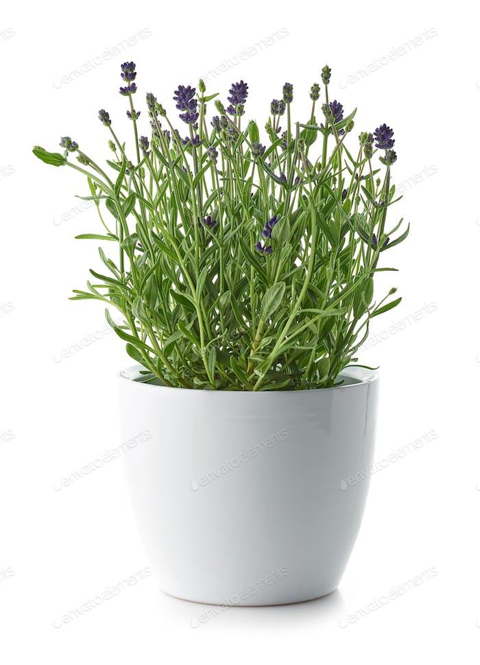 lavender in a white flower pot