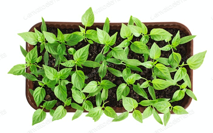 Plastic container with pepper seedlings plants isolated