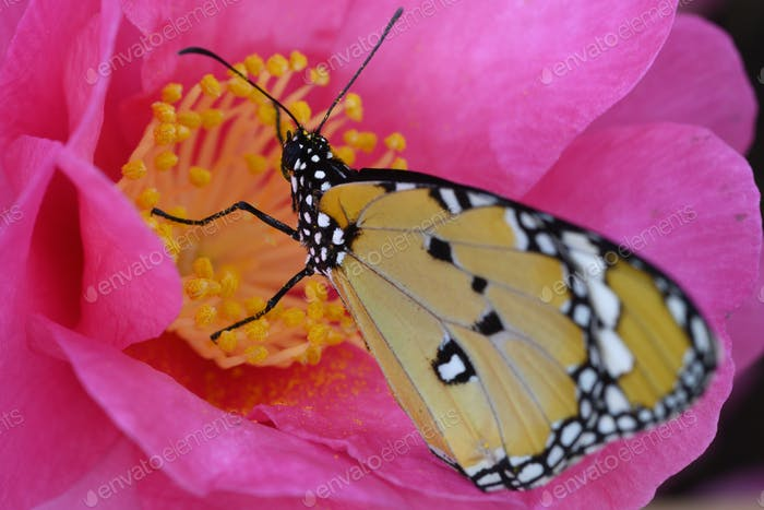 Tropical monarch butterfly among pink and yellow camellia flowers.