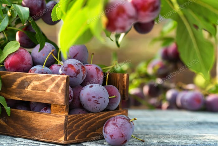 Thumbnail for Fresh cherry plums in wooden box close