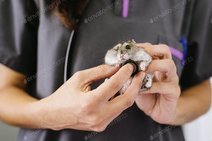 Veterinarian doctor is making a check up of a little hamster.