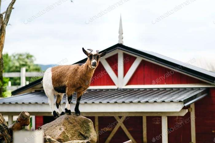 Goat standing on rock on countryside red and white farm building, summer day