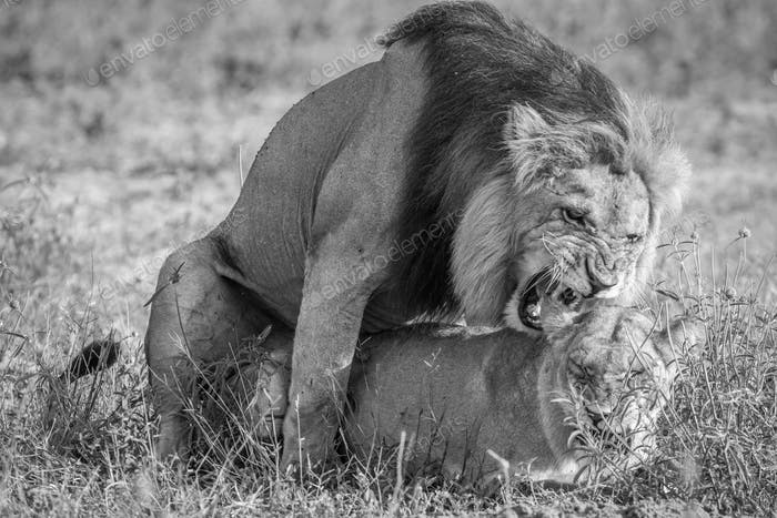 Lions mating in the grass in Chobe.