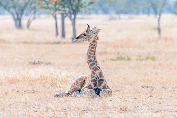 Namibian giraffe calf lying on the grass