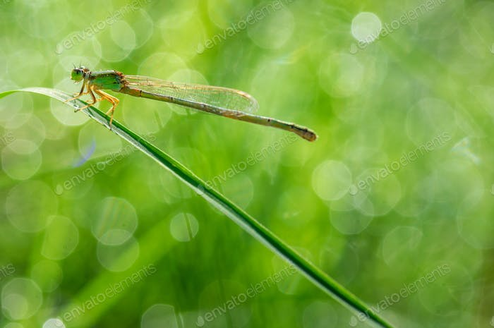 Damselfly with twinkle light of dew in the morning