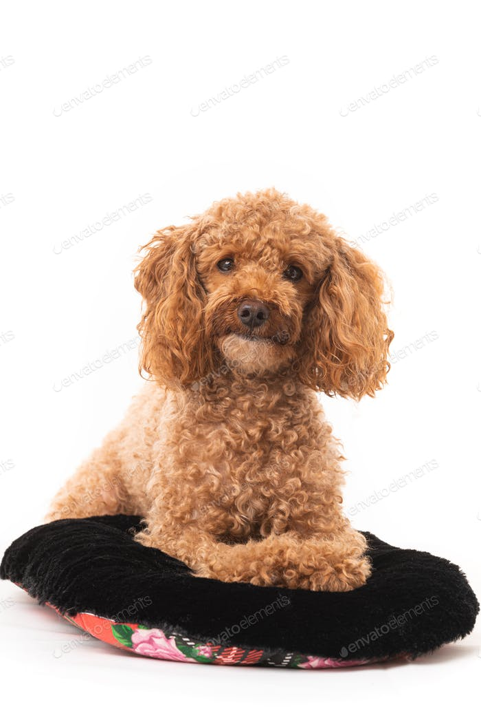 Small Apricot Poodle  Isolated On White Background