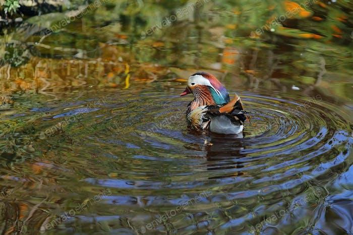 Mandarin duck (Aix galericulata) i