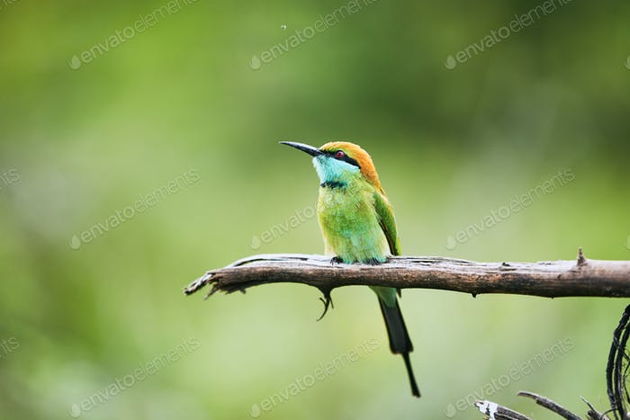 Colorful bee eater on branch