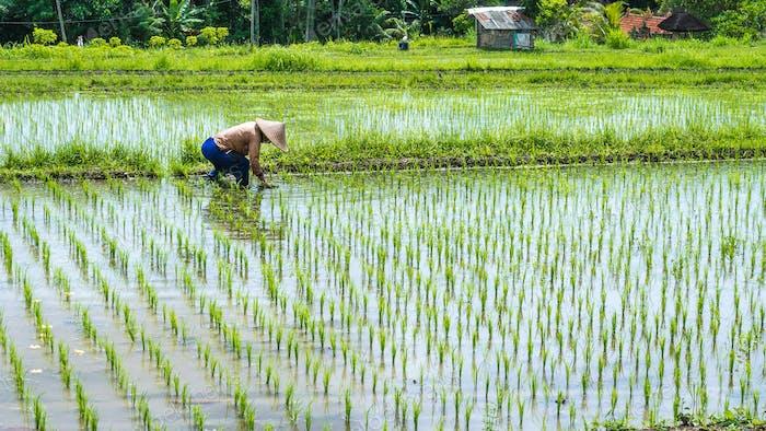 Farmer transplant rice in a field, Bali, Indonesia