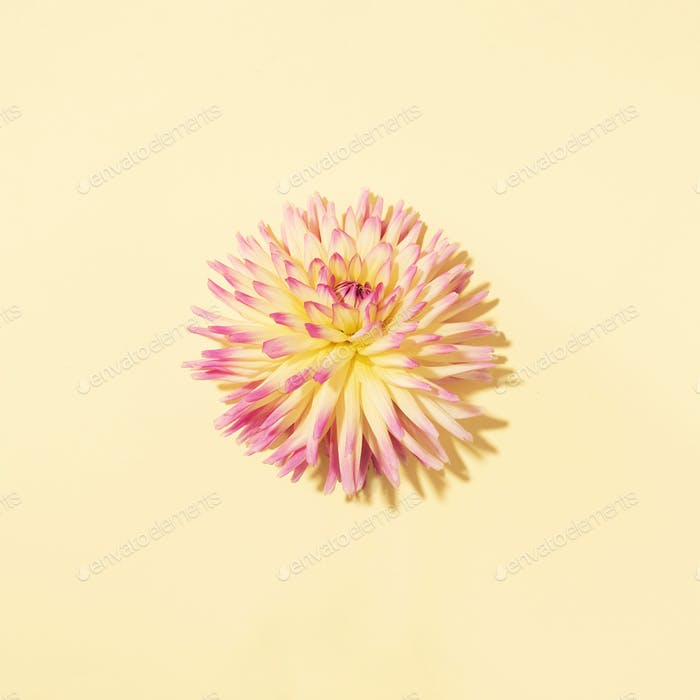 Yellow dahlia flower on pastel background. Top view. Flat lay. Copy space. Creative minimalism still