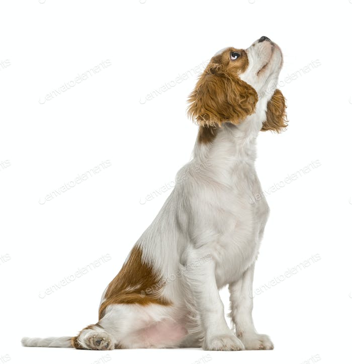 Cavalier King Charles Spaniel puppy looking up, isolated on white