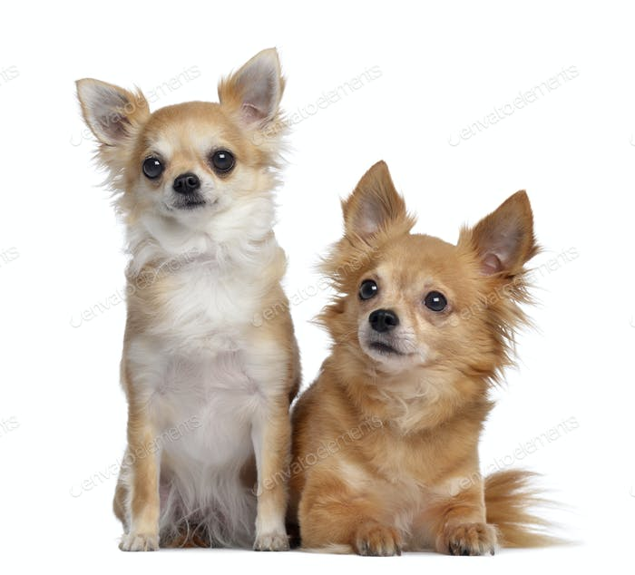 Two Chihuahuas, 5 and 4 years old, sitting and lying next to each other, isolated on white
