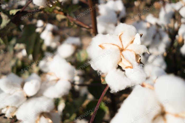 Offene Baumwolle Boll Farm Field Cash Ernte West Texas Landwirtschaft