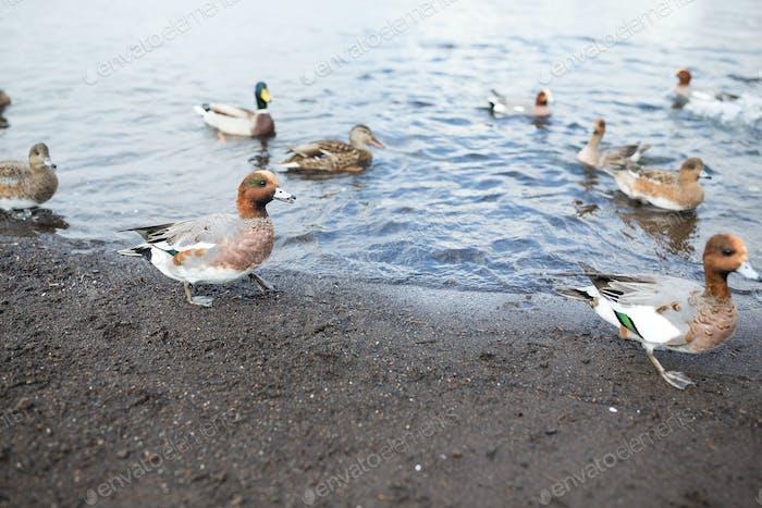 Group of ducks in lake
