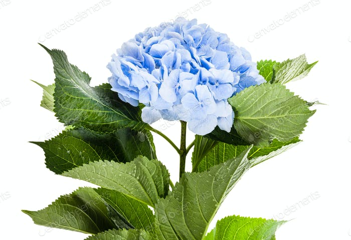 fresh blue hydrangea flower isolated on white