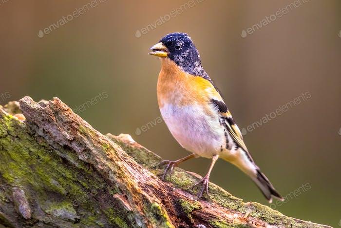 Brambling passerine bird