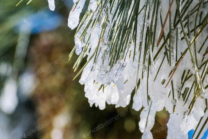 Close up of frozen pine needles on a cold winter day, California