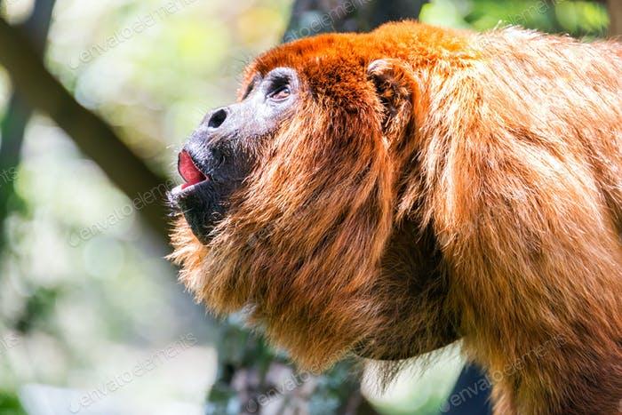 Red Howler Monkey Alpha Male