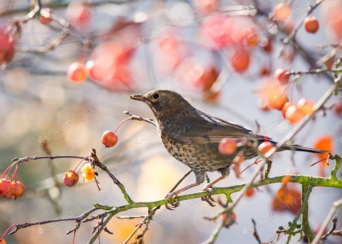 Blackbird sitting in an apple tree
