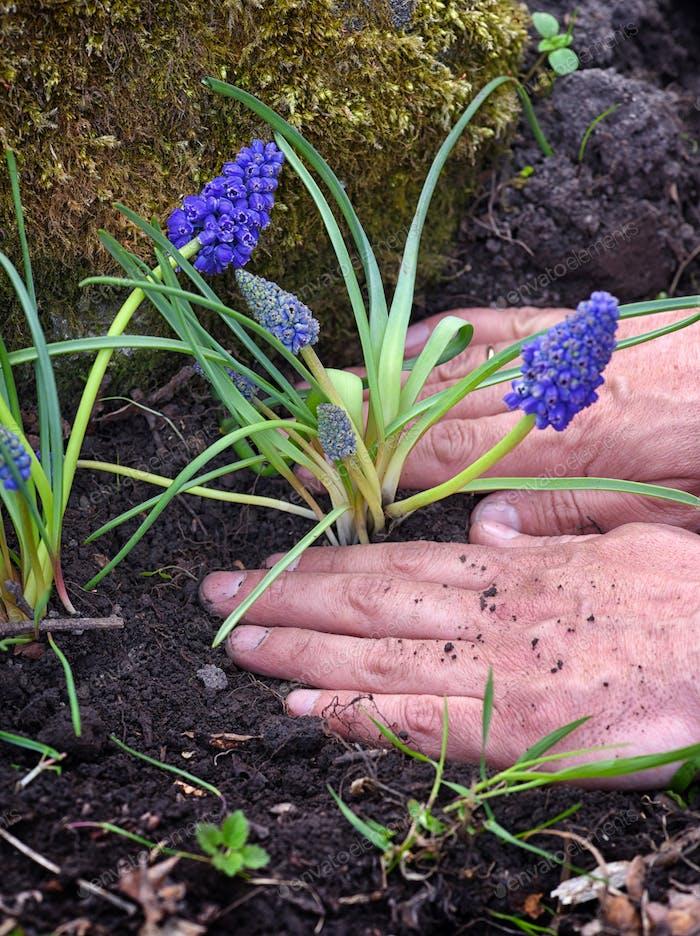 Gardener planting Muscari flowers in the garden. Spring garden w